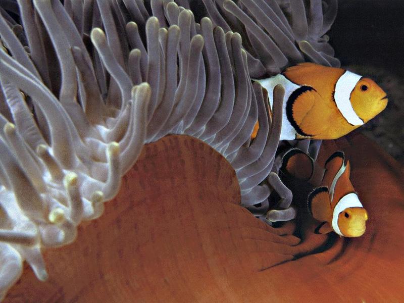 Amhiprion ocellaris namıdeğer nemo